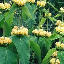 Sauge de Russell - Phlomis russeliana - plantes-vivaces-ete