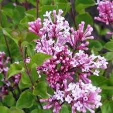 Lilas de Chine - arbustes-fleurs