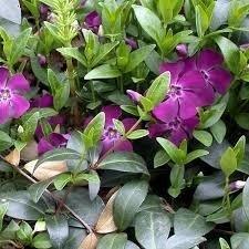 Pervenche pourpre - plantes-couvre-sols