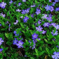 Pervenche - vinca minor - plantes-couvre-sols