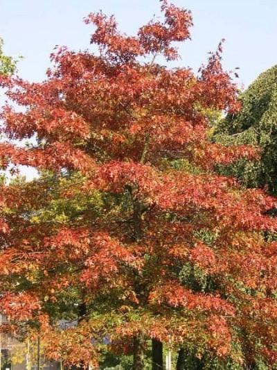 Chêne des marais - arbres-ornement