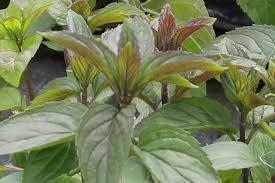 Menthe Chocolat - plantes-aromatiques-jardin