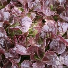 Salade feuille de chêne - le-potager