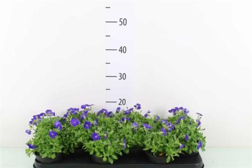 Aubretia - plantes-saisonnieres