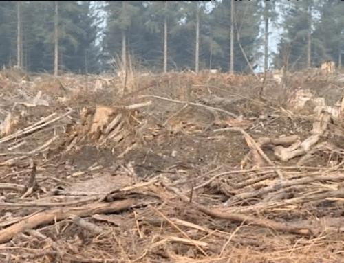 Loudéac : des insectes venus de l'Est ravagent la forêt domaniale