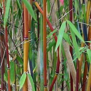 Bambou fargesia nitida Red Dragon - bambou