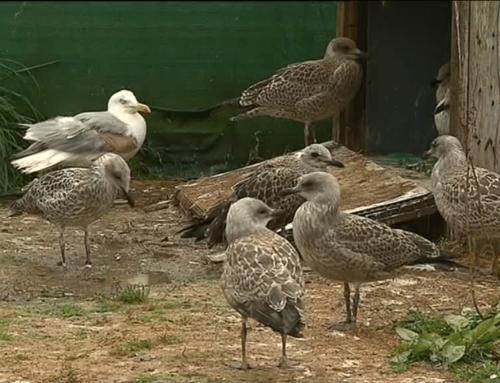 Bretagne : 70 espèces d'oiseaux en danger