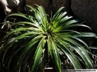 hechtia epigyna