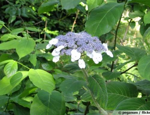 Hortensia velu, Hydranga velu, Hydrangea villosa