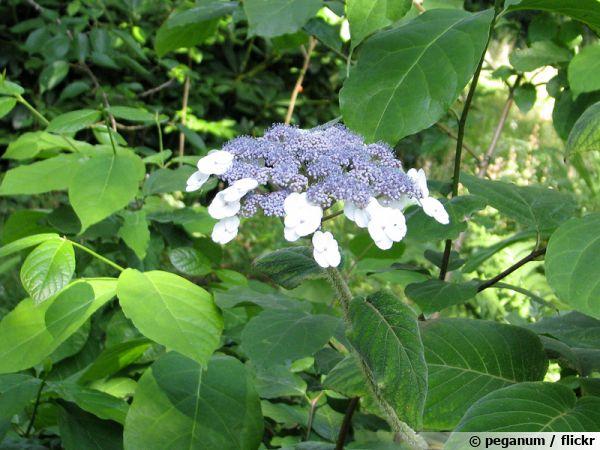 hydrangea aspera subsp villosa