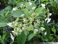 hydrangea heteromalla cv snowcap