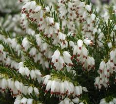 Bruyère érica blanche