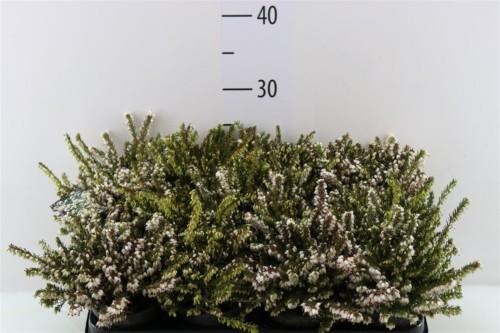 Bruyère érica blanche - plantes-de-terre-de-bruyere