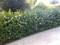 Escallonia Iveyi - arbustes-a-fleurs-dete