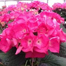 hortensia sybilla