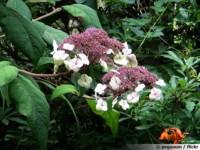 hydrangea velu hydrangeas argentiana