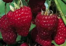 Framboisier Zeva - petits-fruitiers