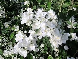 Seringat Mrs E.L Robinson - arbustes-a-fleurs-dete