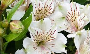 Lis des incas - Alstroemeria Magic White