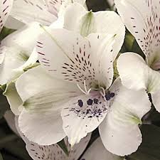 alstroemeria magic white