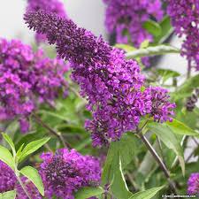 buddleia tutti frutti fleurs violettes