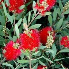 callistemon laevis fleurs rouge