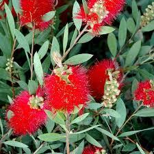 Callistemon Laevis - plantes-mediterranneennes