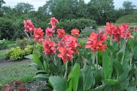 Canna Cannova® rouge - plantes-vivaces-ete