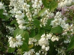 Deutzia x Magnifica - arbustes-a-fleurs-de-printemps