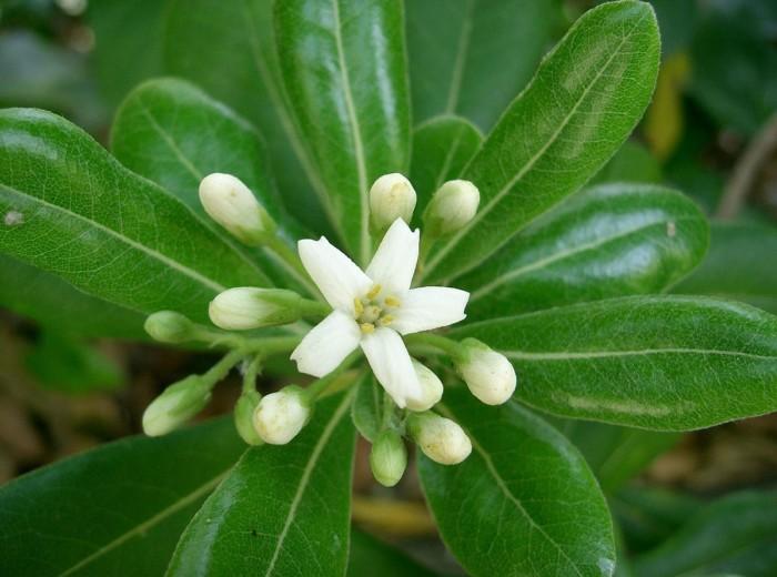 fleur de pittosporum tobira