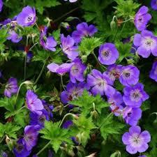 Géranium vivace Rozanne - plantes-couvre-sols