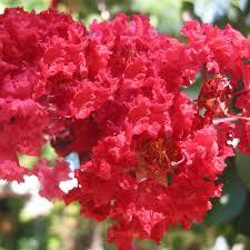 lilas des indes dynamite fleurs rouge
