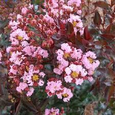 Lilas des Indes Rhapsody - plantes-mediterranneennes
