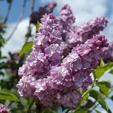Lilas Katherine Havemeyer - arbustes-a-fleurs-de-printemps