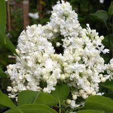 lilas madame lemoine fleurs blanches