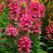 Lobélia Deep Rose - plantes-vivaces-ete