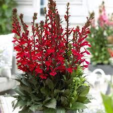 Lobélia Scarlet - plantes-vivaces-ete