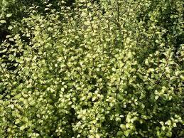Pittosporum Tenuifolium Donovan Gold - arbuste-haie-persistants