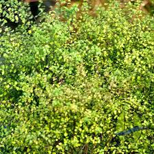 pittosporum donovan gold