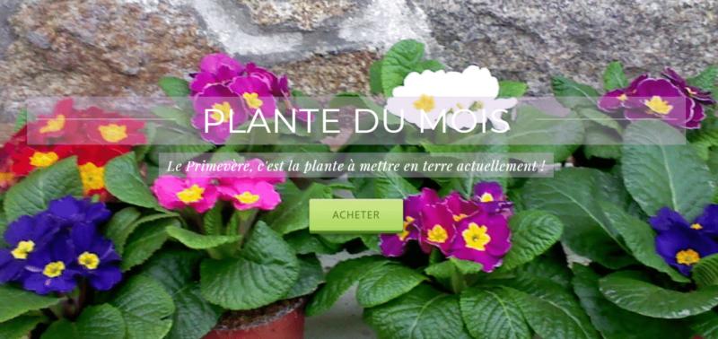 plante du mois de janvier - primevères