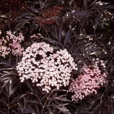 Sureau pourpre - arbustes-a-fleurs-dete