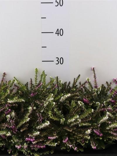 Bruyère érica rose - plantes-de-terre-de-bruyere