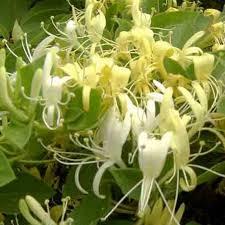 Chèvrefeuille Japonica Halliana - plantes-grimpantes