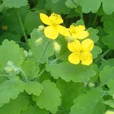 Chélidoine - plantes-aromatiques-jardin