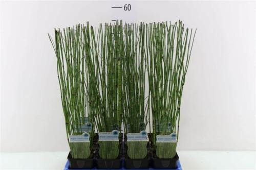 Prêle, Equisetum Hyemale - plantes-de-berge