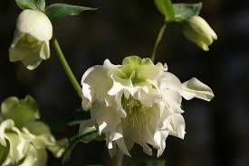 Hellébore Orientale blanche double - plantes-vivaces-hiver