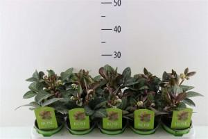 Hellébore lividus purple Price, Rose de noël - plantes-vivaces-hiver
