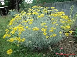 Herbe à Curry - plantes-aromatiques-jardin