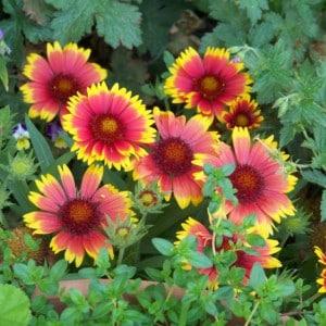 Gaillarde - plantes-vivaces-printemps