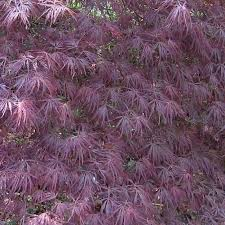 Erable du Japon, Acer Palmatum Atropurpureum Dissectum 40 cm - Pas cher
